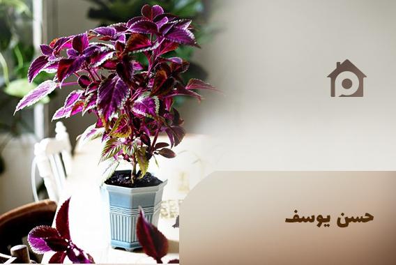 گل های آپارتمانی حسن یوسف
